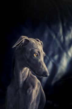 So Many Cute Animals Save the greyhounds http://www.amazinggreys.com.au