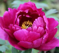 Cardinal Vaughan - Purple Tree Peony - Paeonia suffruticosa -Kelways
