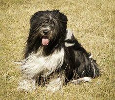 Polish Lowland Sheepdog Dog Breed Picture