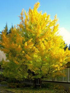 centralumcsw.org wp-content uploads gingko1-768x1024.jpg