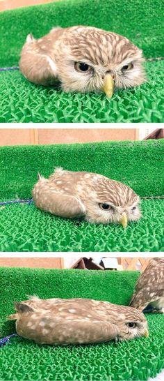 "Funny Owls 44... LOOKS LIKE "" A FLAT OWL!! LOL!!.."