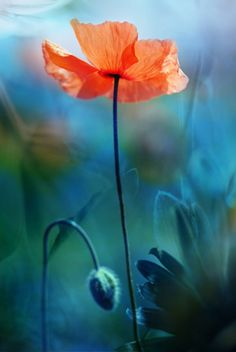 poppies always look like they have secrets. frail and mysterious. bedraggled but elegant. floating. i once read that other flowers are folded inside their buds, but the poppy is untidily crumpled and packed up tightly until it bursts.