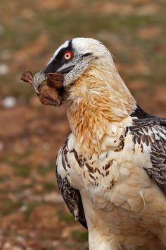 birds of europe: Photo World Birds, All Birds, Birds Of Prey, Amazing Animal Pictures, Bird Pictures, Crow Feather, Bird Feathers, Scavenger Birds, Dragon Bird