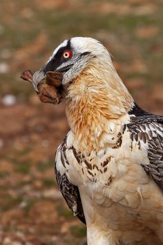 Bearded Vulture (Gypaetus barbatus) »by Ivan Ellison