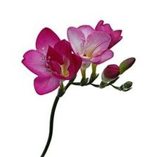 Freesia Casis