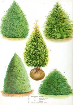 Japanese Cypress Evergreen Trees. Now called Chamaecyparis, or Hinoki false cypress.  Very cold hardy to zone 6; the species plumosa, plumosa aurea, obtusa nana, and squarrosa, are good for planting in small yards and places. They are all moderate in growth, and endure shearing well, can be kept within reasonable size.