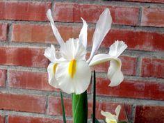 Iris olandese