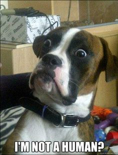 """Such a Boxer thing!! They just can't understand that they are a """"DOG"""".... too funny!"""