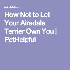 How Not to Let Your Airedale Terrier Own You | PetHelpful