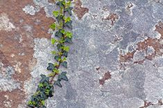 Ivy and Lichen | by Dr Steven Murray