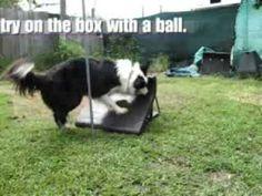 Talin Flyball Training Part 1 Dog Agility, Outdoor Dog, Dog Training Tips, The Great Outdoors, Dog Things, Pets, Youtube, Backyard, Animals