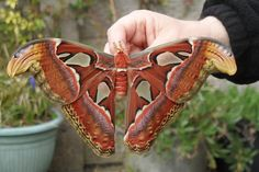 From Caterpillar to Butterfly        Attacus Atlas