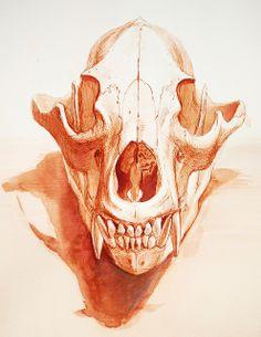 the study of the bear skull