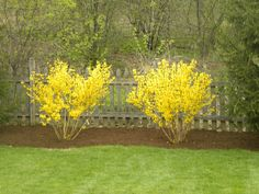 I wanted to share how beautiful sprintime is in my yard. I can not believe how lush and full the forsythia bushes are this sp. Bushes And Shrubs, Garden Shrubs, Lawn And Garden, Garden Plants, Landscaping Around House, Home Landscaping, Front Yard Landscaping, Back Gardens, Outdoor Gardens