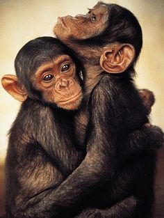 Chimpanzee Monkey Hug Primates Show Affection By Hugging Primates, Mammals, Cute Baby Animals, Animals And Pets, Wild Animals, Beautiful Creatures, Animals Beautiful, Monkey See Monkey Do, Tier Fotos