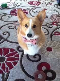 bow tie for gordy?... the ring bearer!