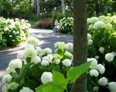 Sinuous Driveway - Acts as the backbone of the garden. Both the lower and upper garden are bordered by Annabelle Hydrangeas and Zelkovas planted along the asphalt driveway making the driveway recede and emphasizing a garden feel to an otherwise functional space.