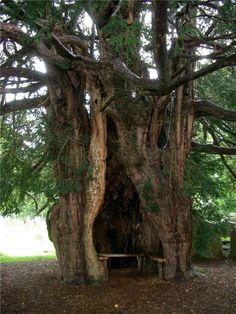 Druids Trees:  Ancient #Yew #tree.