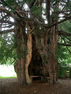 In the stillness of an ancient Yew Tree, whispers of the forest folk shall trickle to my ears...