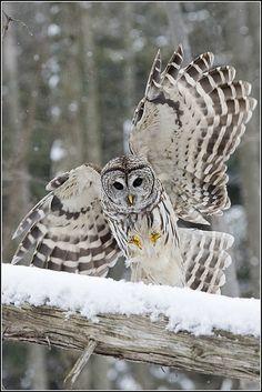 Barred Owl by Earl Reinink