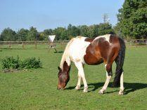 Raza de caballos Pinto