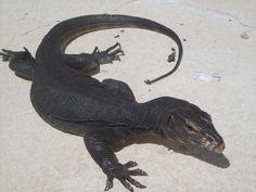 black water monitor | VenomousReptiles.org Classifieds varanus salvator tongianus