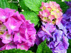 6月13日の誕生日の木は「アジサイ」です。皆さんの周りのアジサイは何色ですか?青?赤?ピンク?それとも白?昔はよく「土が酸性だと青くなり、アルカリ性だと赤くなる」と言われましたが、現在はそれだけでは無い事が解かってきました。アジサイの花の色は、アントシアニンという色素によるもので、これに補助色素とアルミニウムのイオンが加わると、青の花になります。酸性度が高いとアルミニウムがイオンとなって土中に溶け出し、アジサイの根から吸収され、アントシアニンと結合して青くなります。中性やアルカリ性の土壌だと、アルミニウムが溶け出さないため赤くなります。ただこれも一概には言えません。同じアジサイでも、開花からの日数によってアントシアニンや補助色素の量に変化があったり、他にも様々な要因が重なって花の色が変化する事が解かってきました。写真のアジサイも同じ場所に育ちながら色が違いますね。「Present Tree for ...