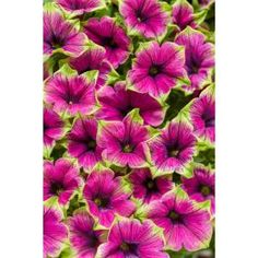 Proven Winners in. Supertunia Picasso in Purple (Petunia) Live Plant, Purple Flowers with Green Edges Grande - The Home Depot Green Flowers, White Flowers, Purple Petunias, Butterfly Plants, Butterflies, Flower Model, Yellow Hibiscus, Red Geraniums, Proven Winners