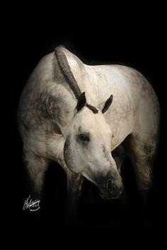 Un Forgettable AQHA stallion
