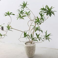 Helpful Guidelines In Growing Indoor Bonsai Trees Dracaena Reflexa Cv. 'Tune Of Jamaica' - You Can Find This Plant Easily At The Garden District, But It Will Take Time To Get It This Twisted. Green Plants, Green Flowers, Tropical Plants, Indoor Bonsai Tree, Indoor Trees, Nature Plants, Foliage Plants, Japanese Indoor Plants, Plant Decor
