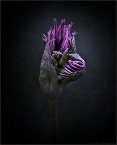 Purple | Porpora | Pourpre | Morado | Lilla | 紫 | Roxo | Colour | Texture | Pattern | Style | Form | Uwe Appelberg - secrets of nature XI