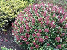 """Skimmia japonica """"Rubella"""" A great evergreen shrub for shady areas with showy…"""