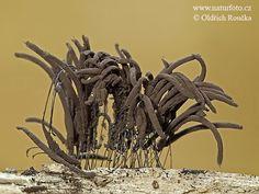 Stemonitis fusca Mushroom Pictures, Stemonitis fusca Images | NaturePhoto