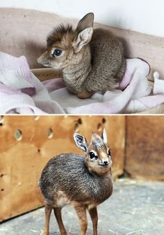 Rare Animal Babies You've Probably Never Seen Before Baby Dik-DikBaby Dik-Dik Unusual Animals, Rare Animals, Animals And Pets, Funny Animals, Strange Animals, Pretty Animals, Cute Baby Animals, Animals Beautiful, Animal Babies