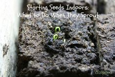 Starting Seeds Indoors: What to Do When They Sprout
