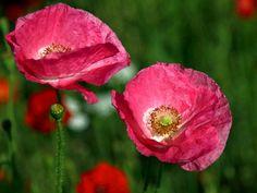 twee roze klaprozen