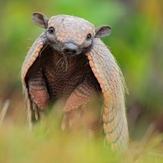 Get beyond the leathery armored shells to learn more interesting facts about tolypeutes and other armadillos.