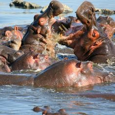 Hippos in Kenya -- check out our itineraries at www.Adventures-Abroad.com