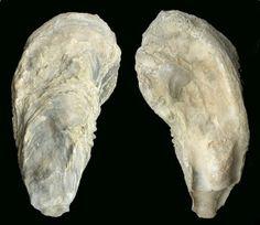 Crassostrea: Valva derecha de Crassotrea sp. del Mioceno superior de Mula. Obsérvese el resilifer y la impresión muscular. Longitud = 21 cm