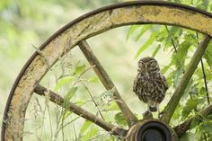 Little Owl. by Dehaasphotography #animals #animal #pet #pets #animales #animallovers #photooftheday #amazing #picoftheday