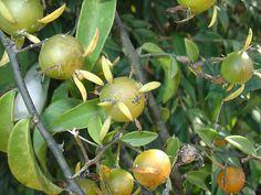 PERESKIA ACULEATA - Nome popular: Groselha de Barbados, Ora-pró-nobis e Guaiapá. É da família das Cactáceas by Luiz Leite, via Flickr