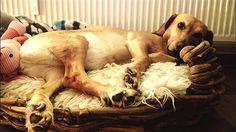 "Mischling Gini Tomato Potato ""Couchpotato"" <3 #Hund: Gini / Rasse: #Mischling      Mehr Fotos: https://magazin.dogs-2-love.com/foto/mischling-gini/ Foto, Hund"
