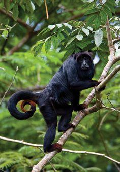 Macaco Bugio - Amazonas