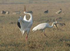 Siberian Crane, Keoladeo National Park, Bharatpur, Rajasthan, India