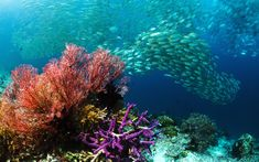 School of bigeye scad (Selar crunenophthalmus) over coral reef with gorgonian or seafan, Misool, Raja Ampat, West Papua, Indonesia