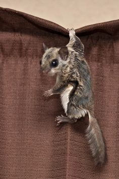 Three legs no problem for a flying squirrel