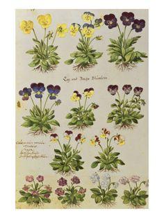 Pansies and Violas. from 'Camerarius Florilegium' Print by Joachim Camerarius at Art.com