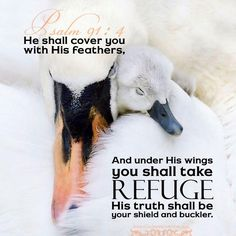 Psalm Surely he shall deliver thee from the snare of the fowler, and from the noisome pestilence. He shall cover thee with his feathers, and under his wings shalt thou trust: his truth shall be thy shield and buckler. Printable Bible Verses, Bible Verses Quotes, Bible Scriptures, Illustrated Words, Under His Wings, Shadow Of The Almighty, Scripture Pictures, Psalm 91, Religious Quotes
