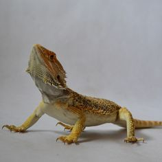 Posing in studio #pogonavitticeps #pogona #cute #dragon #beardie #beardeddragon #agama #agamavousatá #ještěrka #plaz #whitescreen #lovemypet #dinosaur #dinosaurus #desert #nofilter #studio #pet #animal #instagood