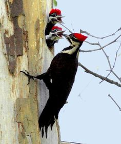 Pileated Woodpecker feeding her babies